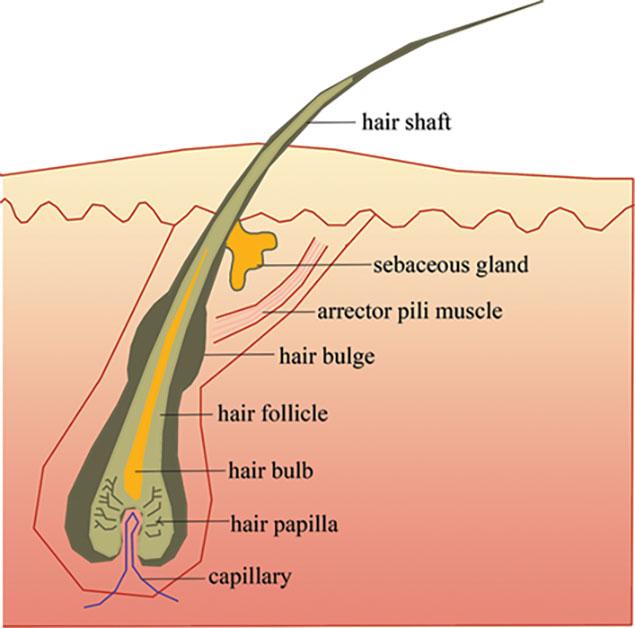 آیا فولیکول های مو از بین می روند؟